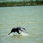 How Hinduism Continues to Save Dolphins in India