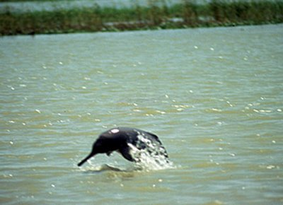 How Hinduism Continues to Save Dolphins in India ...