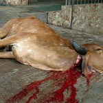 3 Culprits Caught After Sacred Cow Slaughtered at Hindu Temple